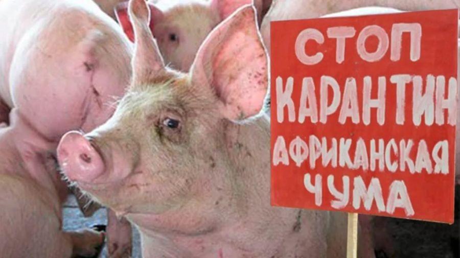 Вспышка африканской чумы свиней зафиксирована водном изпоселков Челябинской области